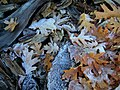 Frosty Leaves (8552091513).jpg