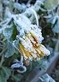 Frozen marigold (23728043156).jpg