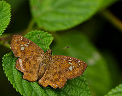 Fulvous Pied Flat.jpg
