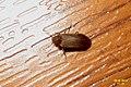 Furniture beetle (woodworm) (NH266) (14571152136).jpg