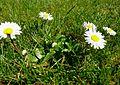 Gänseblümchen im Grünen 17-04-2010 (3).jpg