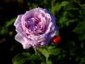 Gaerten der welt rose violet 20180604.png