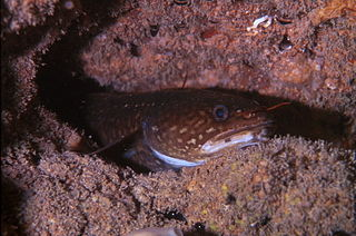 Shore rockling species of fish