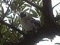 Galapagos mockingbird in a tree, Santa Cruz Island, Galapagos.jpg
