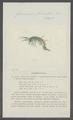 Gammarus fluviatilis - - Print - Iconographia Zoologica - Special Collections University of Amsterdam - UBAINV0274 098 02 0004.tif