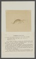 Gammarus fossarum - - Print - Iconographia Zoologica - Special Collections University of Amsterdam - UBAINV0274 098 02 0008.tif