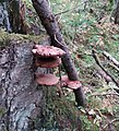 Ganoderma lucidum 24577456.jpg