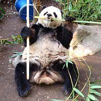 Gao Gao Panda.jpg
