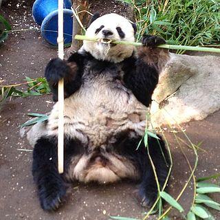 Gao Gao male giant panda