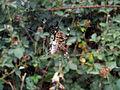 Garden orb weaver06.jpg