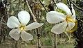 Gardenia gummifera 14.JPG