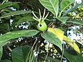 Gardenia jasminoides fruit (Artipe oryx okinawana's larva lives).JPG