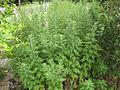 Gardenology.org-IMG 2897 rbgs11jan.jpg
