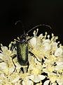 Gaurotes virginea (Cerambycidae) (7615329920).jpg
