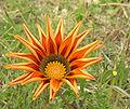 Gazania flower SMC 2007.jpg