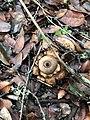 Geastrum saccatum 30182312.jpg