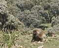 Gelada Baboon (2447515975).jpg
