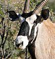Gemsbok (Oryx gazella) portrait (32420821790).jpg