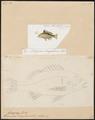 Genyoroge bengalensis - - Print - Iconographia Zoologica - Special Collections University of Amsterdam - UBA01 IZ12900279.tif