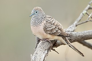 Peaceful dove Species of bird