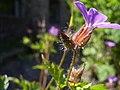 Geranium robertianum knop.jpg