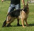 German Shepherd Dog Alsatian 1.jpg