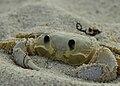 Ghost Crab.jpg