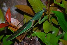 Giant Shield Mantis (Rhombodera basalis) (8674968117).jpg
