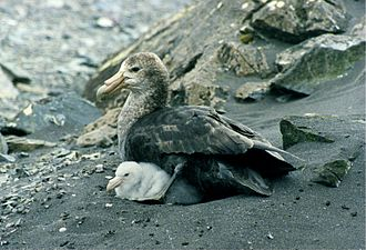 Southern giant petrel - Adult and chick