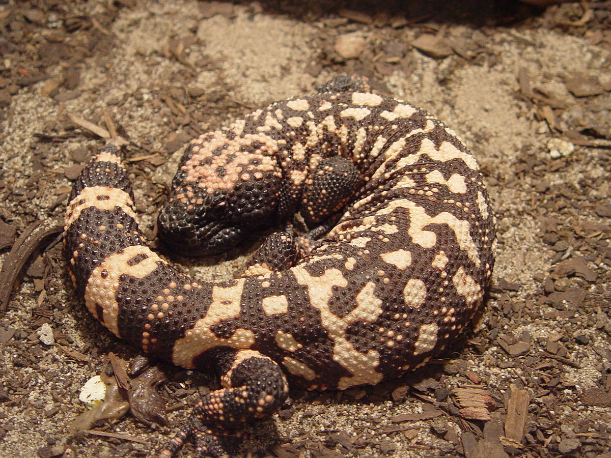 Gila monster - Wikipedia