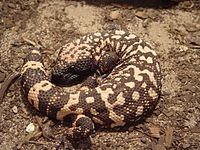 A Gila monster curled up on the ground absorbing heat.