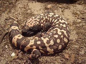 Gila monster - Image: Gila monster 2