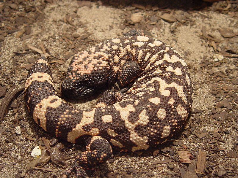 File:Gila monster2.JPG
