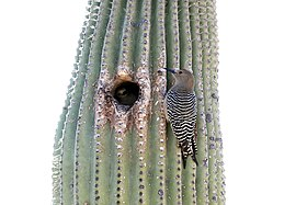 Gila woodpecker on Saguaro.jpg
