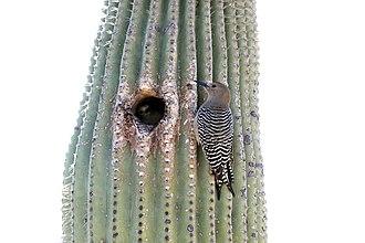 Gila woodpecker - On Saguaro cactus next to nesting hole