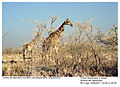 Giraffa camelopardalis angolensis (2) 19990804 JoRoRo.jpg