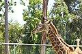 Giraffa camelopardalis tippelskirchi 2010-04-24 head.JPG