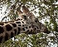 Giraffe head (4505762242).jpg