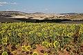 Girasoles - panoramio.jpg