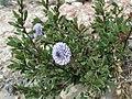 Globularia alypum 01.jpg