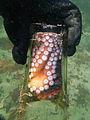Gloomy Octopus-Octopus tetricus (9066123590).jpg
