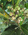 Glycosmis pentaphylla 01.JPG