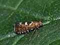 Glyphipterix bergstraesserella (40981516021).jpg