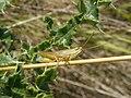 Glyptobothrus brunneus 01.jpg