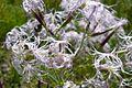 Goździk pyszny kwiaty Las Bemowski.jpg