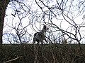Goat in Utkinton - geograph.org.uk - 332004.jpg