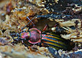 Golden Ground Beetle (Carabus auronitens auronitens) hibernating in dead wood (13535888225).jpg