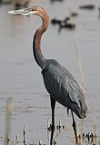 Goliath Heron, Ardea goliath at Marievale Nature Reserve, Gauteng, South Africa (20955438256).jpg