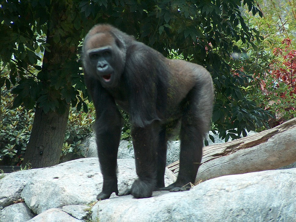 Gorilla04.jpeg