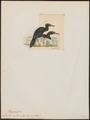 Graculus sulcirostris - 1820-1860 - Print - Iconographia Zoologica - Special Collections University of Amsterdam - UBA01 IZ18000147.tif